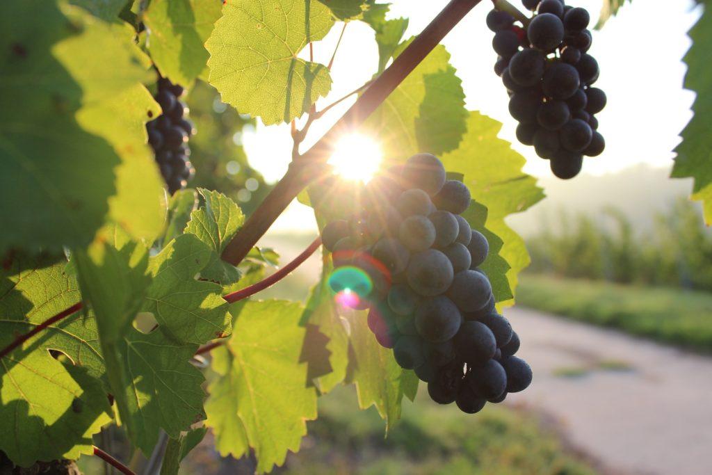 grapes-984493_1920