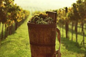 hungarian grape-harvesting
