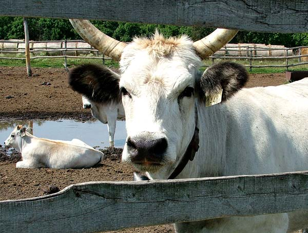 Grey hungarian cattle