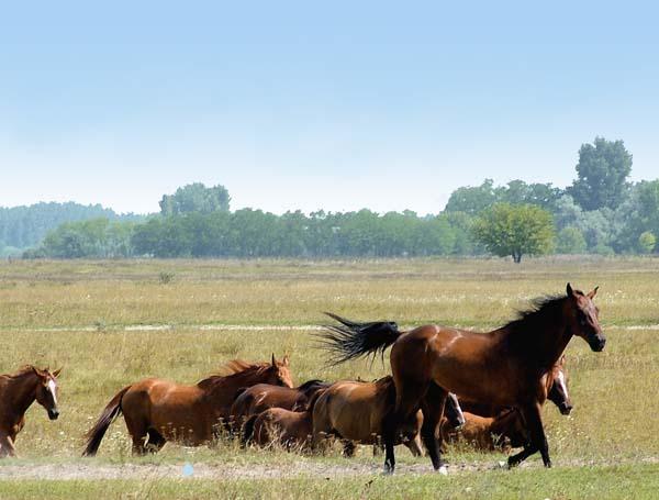 hortobagy and horses