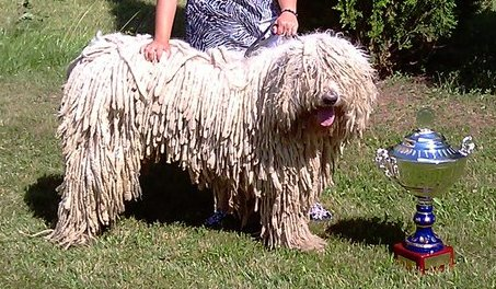 Hungarian dog breeds komondor